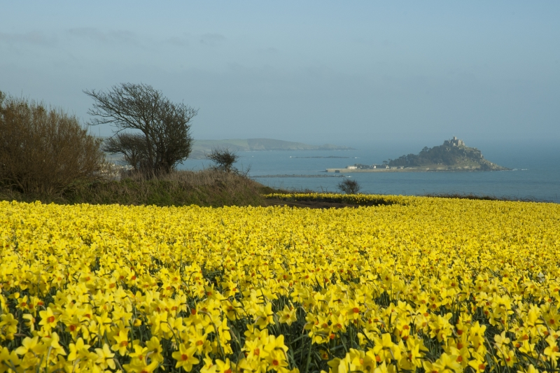 mounts bay spring flowers